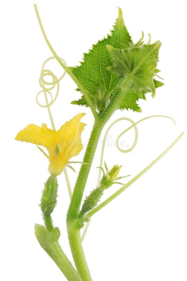 Embriões do pepino com flores e as folhas amarelas em um sutiã espinhoso fotos de stock royalty free