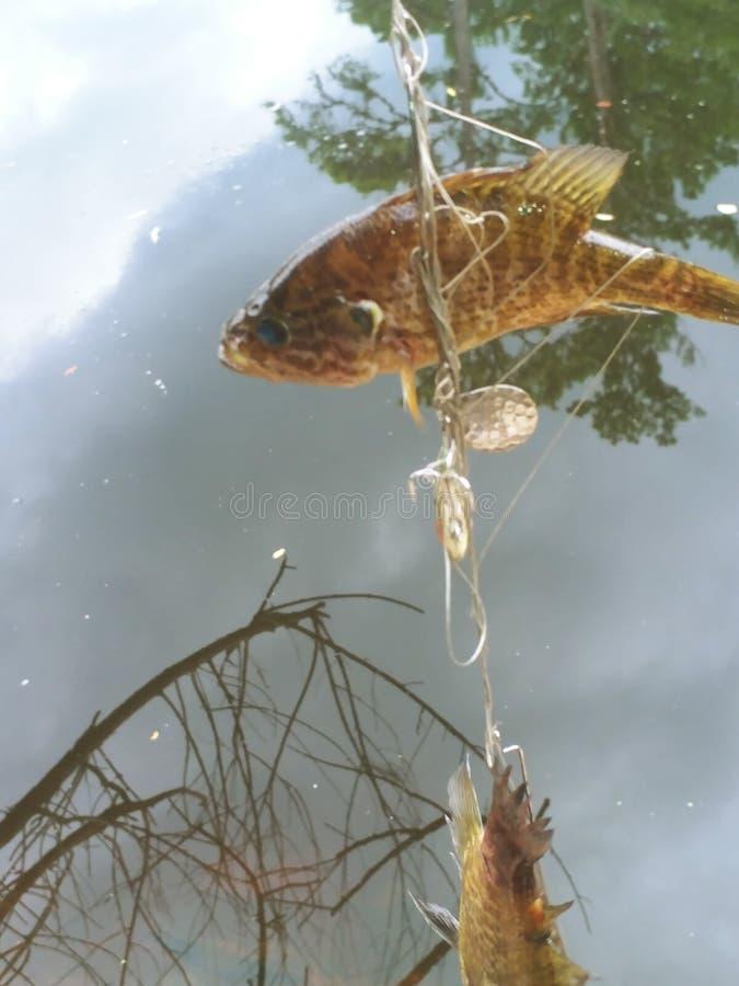Embrouillement de pêche en eau douce de Satilla images libres de droits