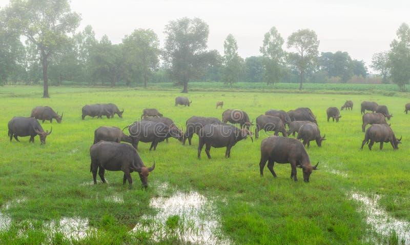 Embrumez pendant le matin avec les troupeaux de buffle dans le ` s de pays rural image stock