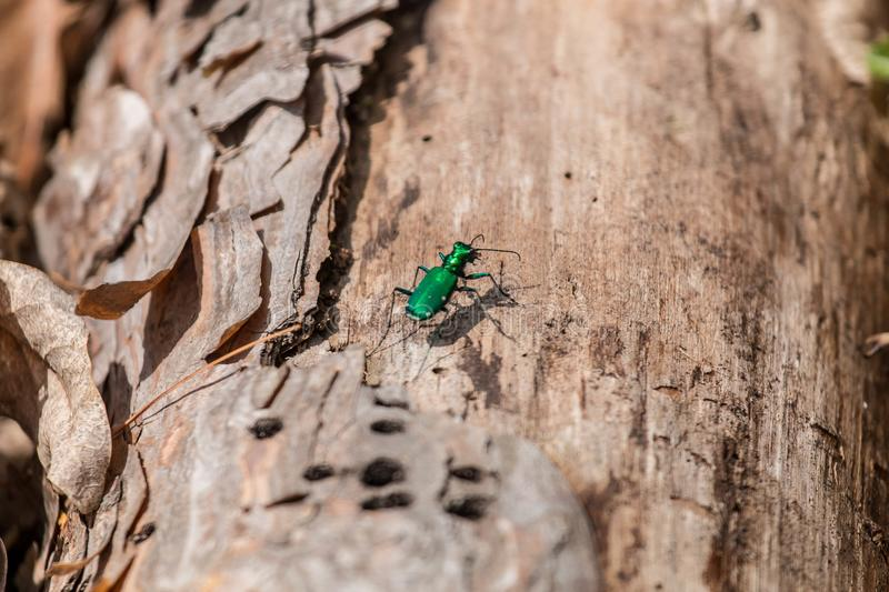 Emerald ash borer. Looking for a meal, An invasive bug that feeds on ash trees stock image