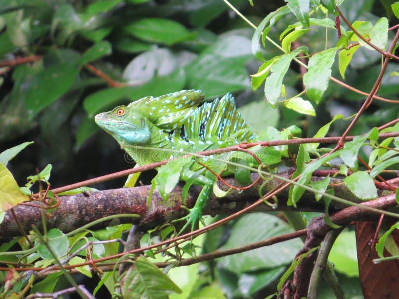 Emerald Basilisk imagem de stock