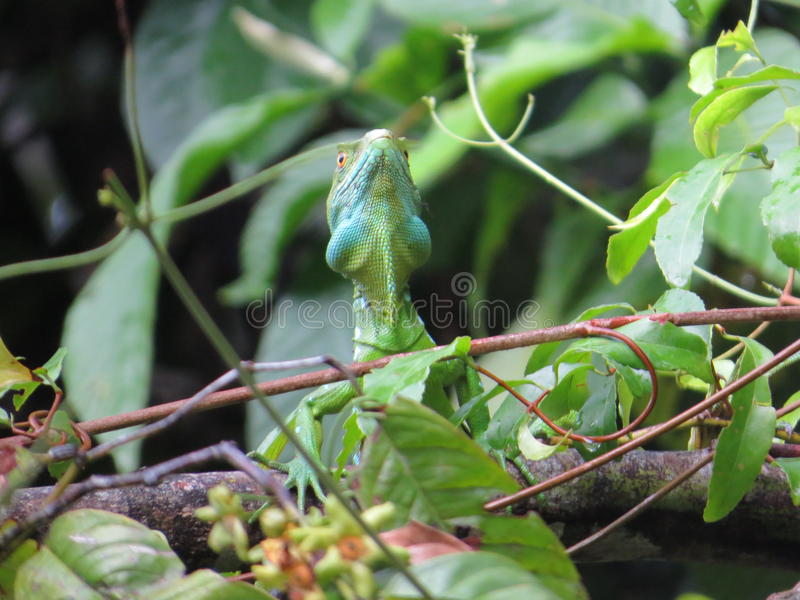 Emerald Basilisk fotos de stock royalty free