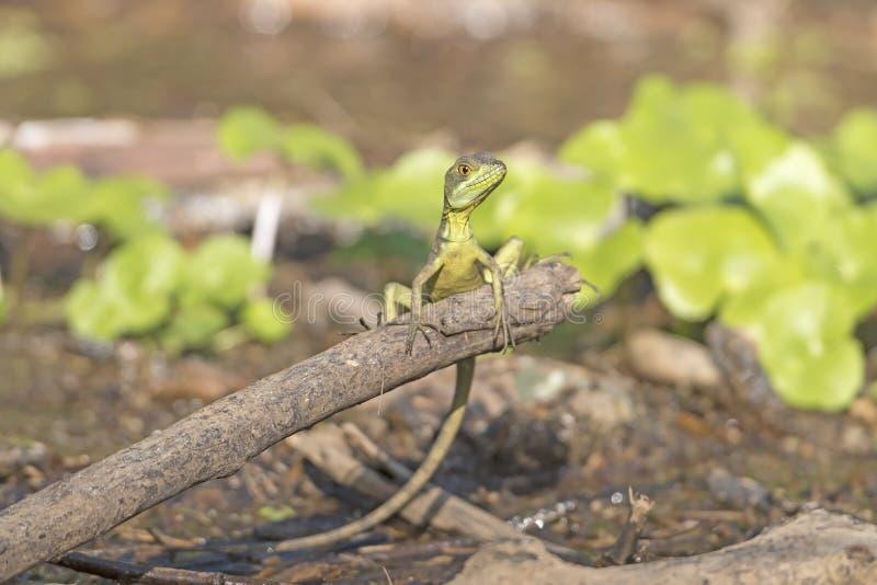 Emerald Basilisk fêmea imagens de stock royalty free