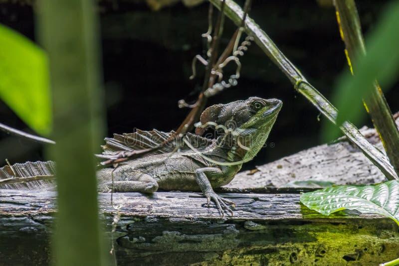 Emerald Basilisk Lizard masculino em Puntarenas - Costa Rica imagem de stock royalty free