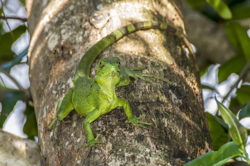 Emerald Basilisk Lizard på träd arkivfoto
