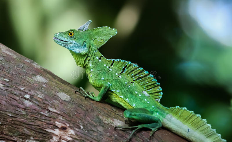 Emerald basilisk on a tree in Costa Rica stock photography