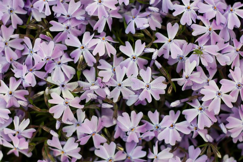 Emerald blue creeping phlox. Top view on blue phlox flowers in garden or meadow stock photo