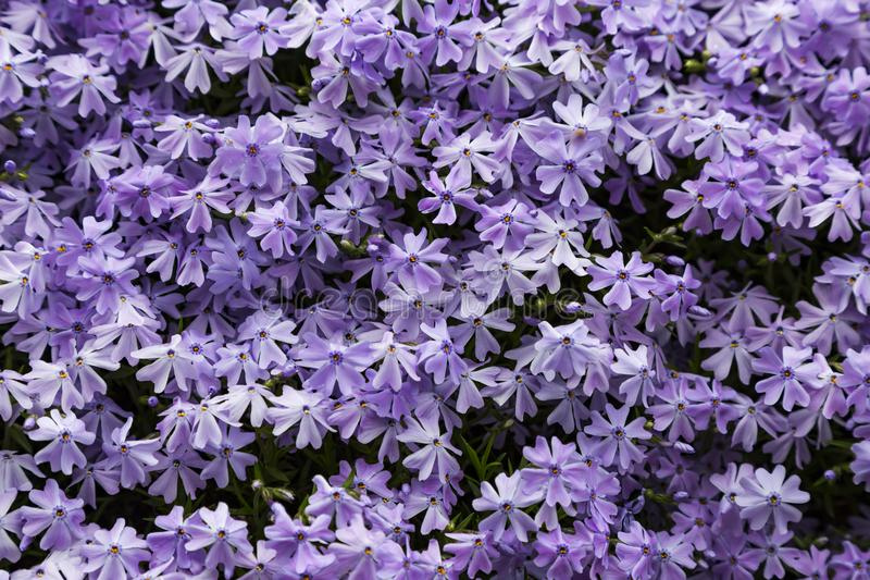 Emerald blue moss phlox flower are blooming. In garden stock photography
