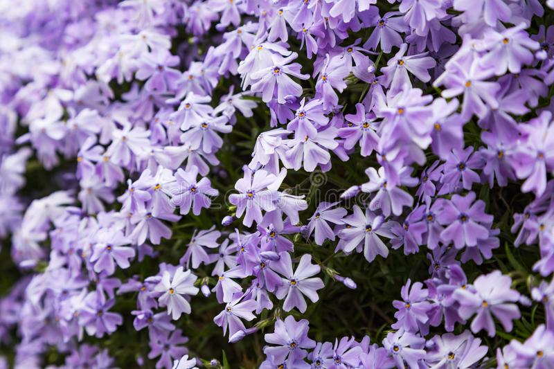 Emerald blue moss phlox flower are blooming. In garden royalty free stock photo