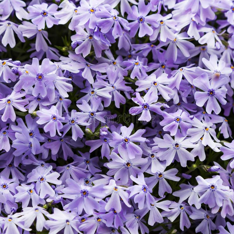 Emerald blue moss phlox flower are blooming. In garden stock image