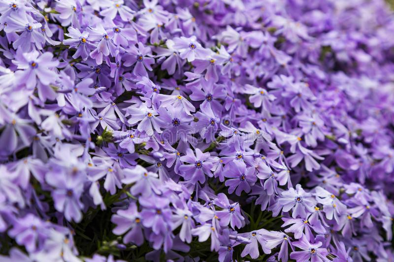 Emerald blue moss phlox flower are blooming. In garden stock photo