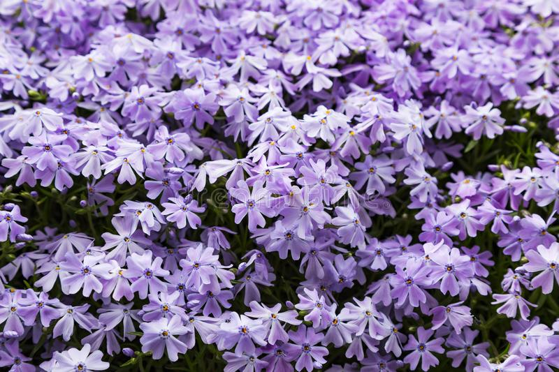 Emerald blue moss phlox flower are blooming. In garden stock images