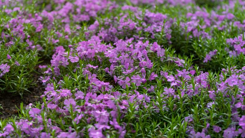 Emerald Blue, Purple Creeping Phlox subulata in rockery garden royalty free stock image