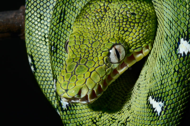 Emerald boa green constrictor snake wild animal. A close-up portrait of an emerald boa in the Bolivian rainforest this tropical jungle species lives in the royalty free stock image