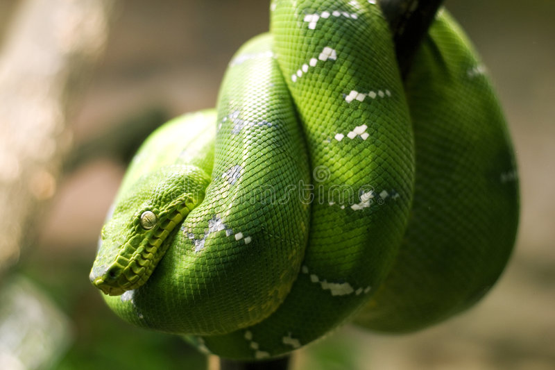 Download Emerald boa snake stock image. Image of camouflaged, colorful - 8580035