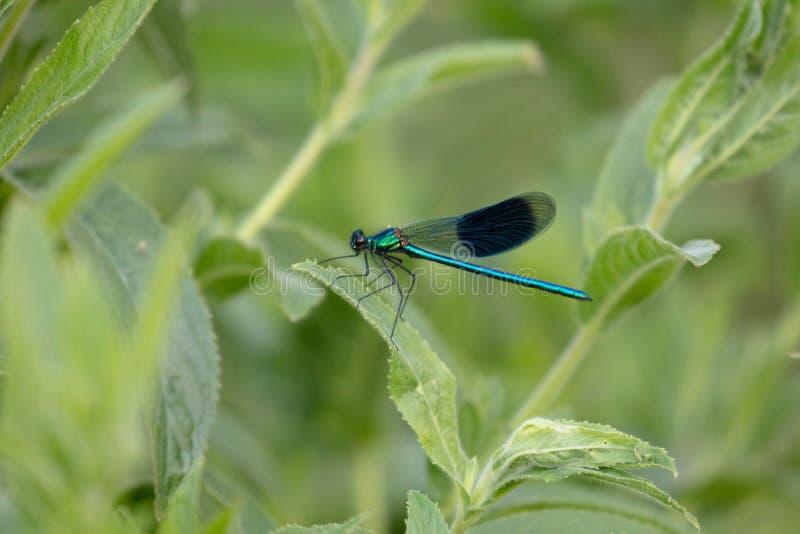 Emerald Damselfly arkivfoton