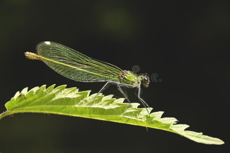 Emerald Damselfly royaltyfri bild
