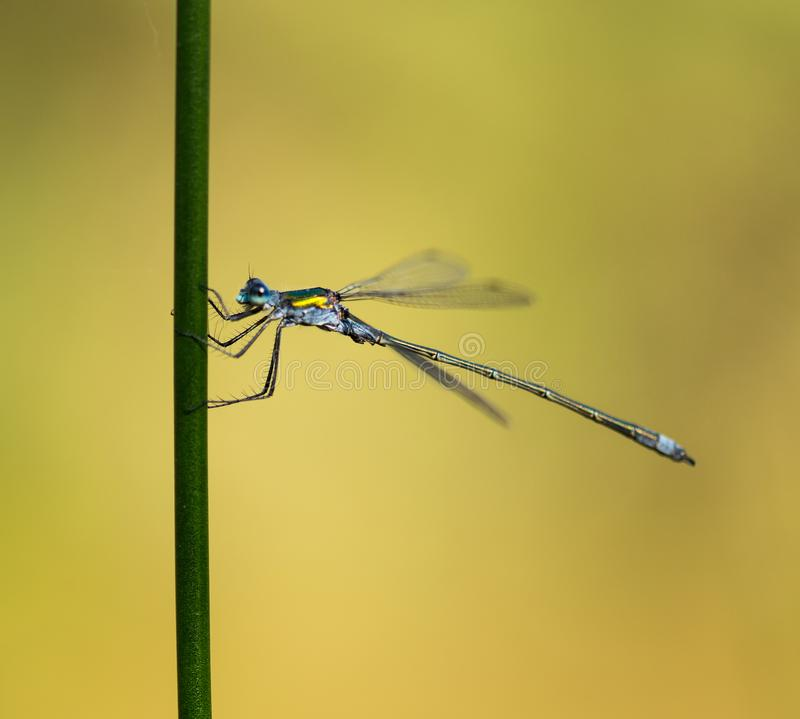 Emerald Damselfly Gripping Green Reed. An Emerald Damselfly gripping onto a grass reed at the edge of a pond in a nature reserve in Cornwall, UK royalty free stock photos