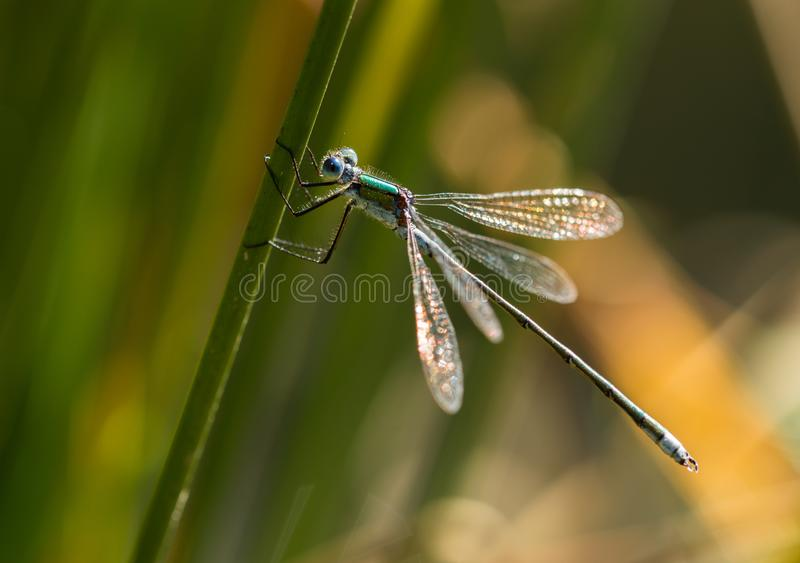 Emerald Damselfly Gripping Reed. An Emerald Damselfly gripping onto a grass reed at the edge of a pond in a nature reserve in Cornwall, UK royalty free stock photo