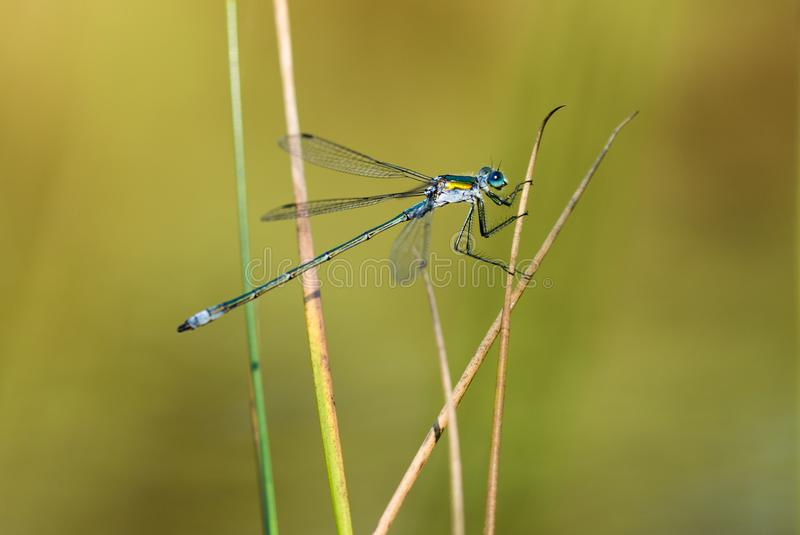 Emerald Damselfly Gripping Reeds. An Emerald Damselfly gripping onto a grass reed at the edge of a pond in a nature reserve in Cornwall, UK royalty free stock photos