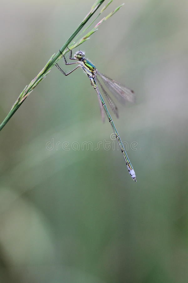 Emerald Damselfly. Hanging on a blade of grass stock images