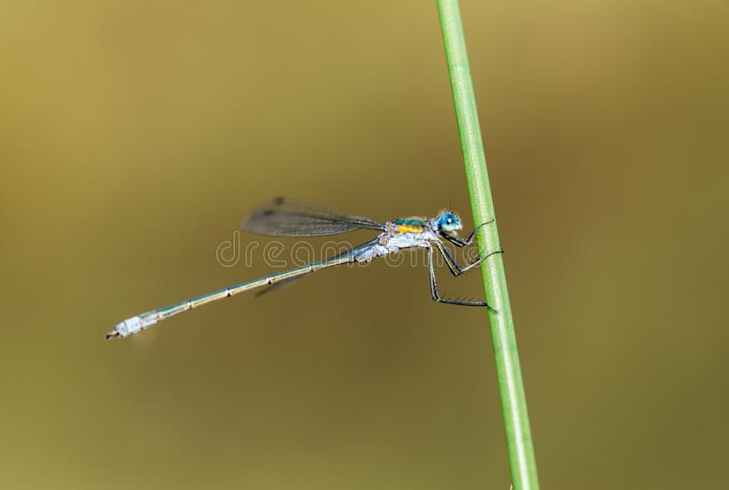 Emerald Damselfly Hanging onto Reed. An Emerald Damselfly gripping onto a grass reed at the edge of a pond in a nature reserve in Cornwall, UK royalty free stock images
