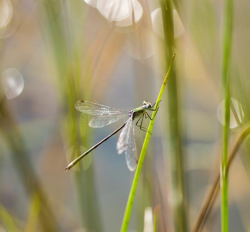 Emerald Damselfly Holding onto Reed. An Emerald Damselfly gripping onto a grass reed at the edge of a pond in a nature reserve in Cornwall, UK royalty free stock photo