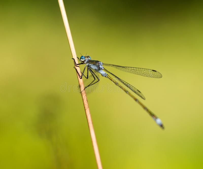 Emerald Damselfly Holding a Reed. An Emerald Damselfly gripping onto a grass reed at the edge of a pond in a nature reserve in Cornwall, UK royalty free stock images