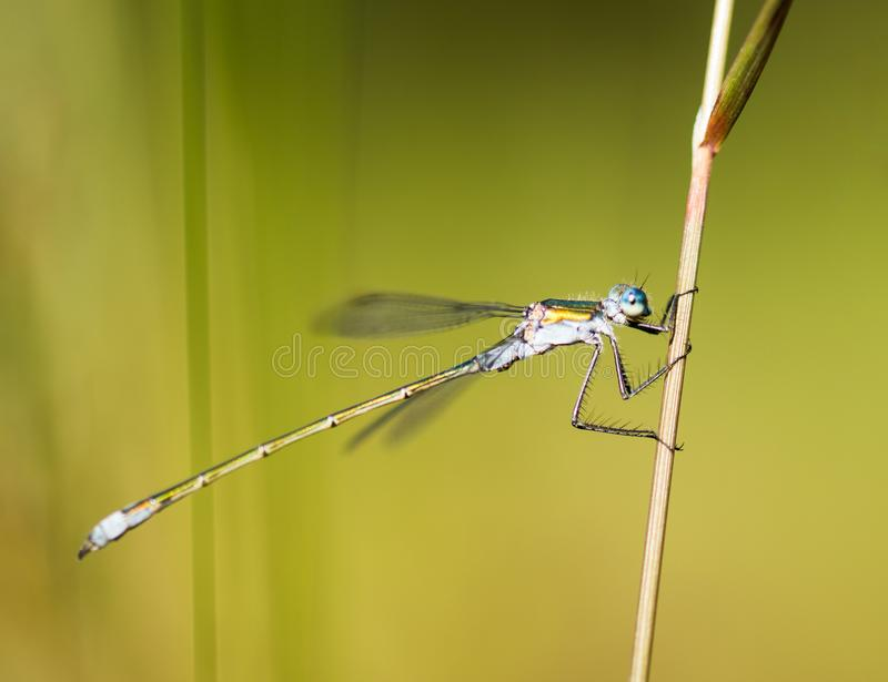 Emerald Damselfly Holding Reed. An Emerald Damselfly gripping onto a grass reed at the edge of a pond in a nature reserve in Cornwall, UK stock photo