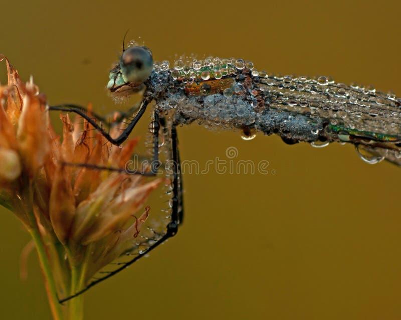 Emerald Damselfly, Lestes-sponsa in ochtenddauw royalty-vrije stock afbeeldingen
