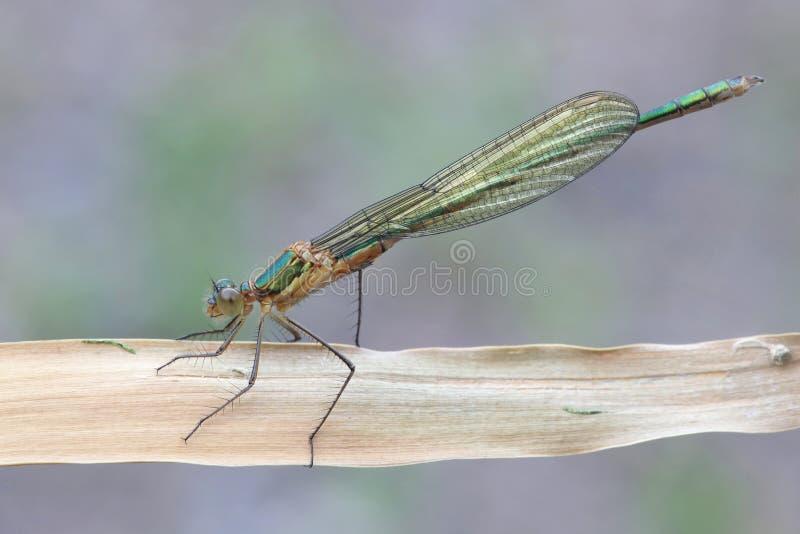 Emerald Damselfly, sponsa de Lestes photos libres de droits
