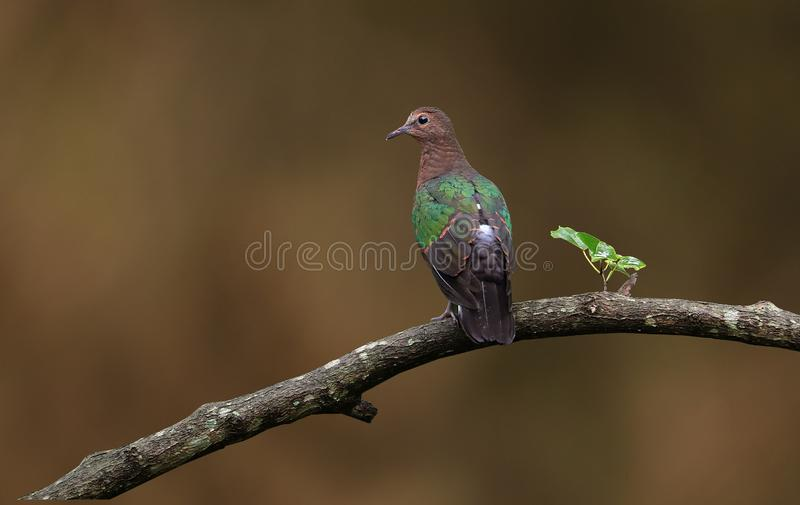 Emerald dove. Beautiful shot of emerald dove in morning light stock images