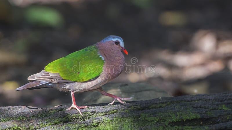 Emerald Dove Walking On Log stockfotos