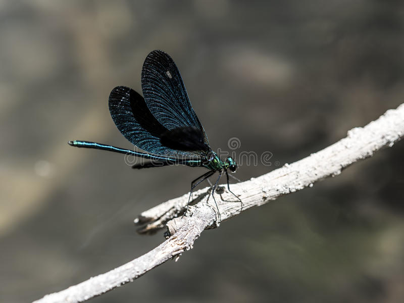 Emerald dragonfly royalty free stock photos