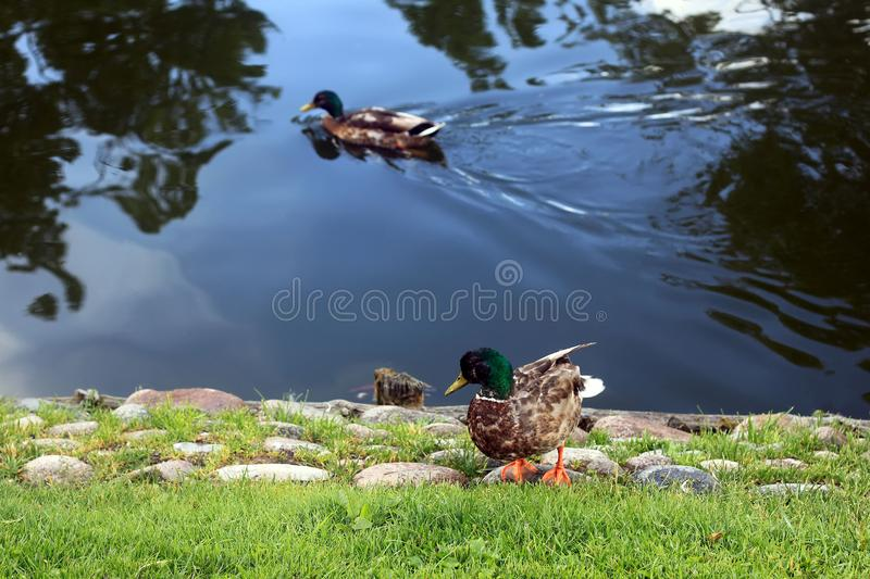 Emerald duck in lake, peaceful view. In forest stock images