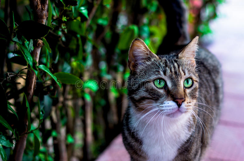 Emerald eyes cat. Classy cat with beautiful green emerald eyes stock photography