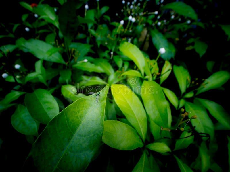 Emerald Fly Perched sulla foglia immagini stock