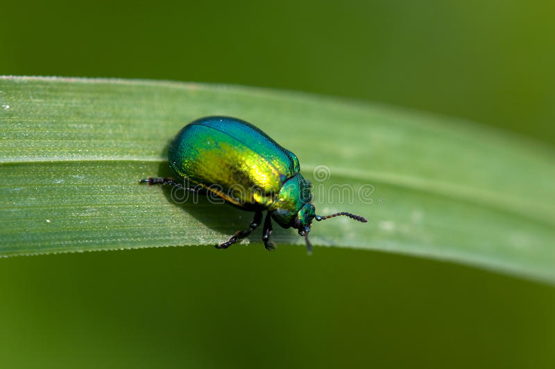 Emerald on a grass. Emerald beetle on a grass royalty free stock image