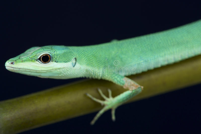 Emerald grass lizard / Takydromus smaragdinus. The emerald grass lizard is a slender, agile and brightly colored reptile species endemic to the Riukiu islands of royalty free stock photos
