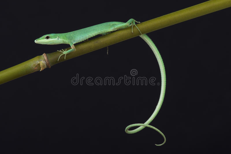 Emerald grass lizard / Takydromus smaragdinus. The emerald grass lizard is a slender, agile and brightly colored reptile species endemic to the Riukiu islands of royalty free stock image