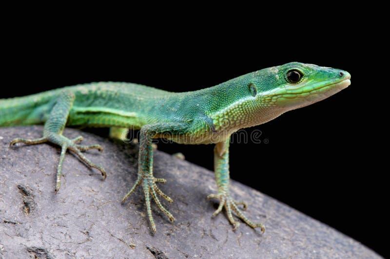 Emerald grass lizard / Takydromus smaragdinus. The spectacular emerald grass lizard is endemic to the Japanese Riukui, Amami, Okinawa, Kotakaramija and stock images