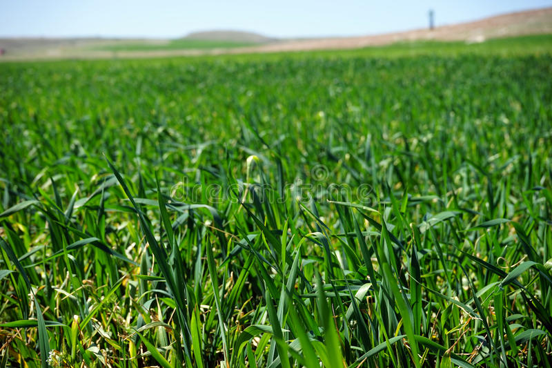 Emerald green grass. Landscape summer day stock photo
