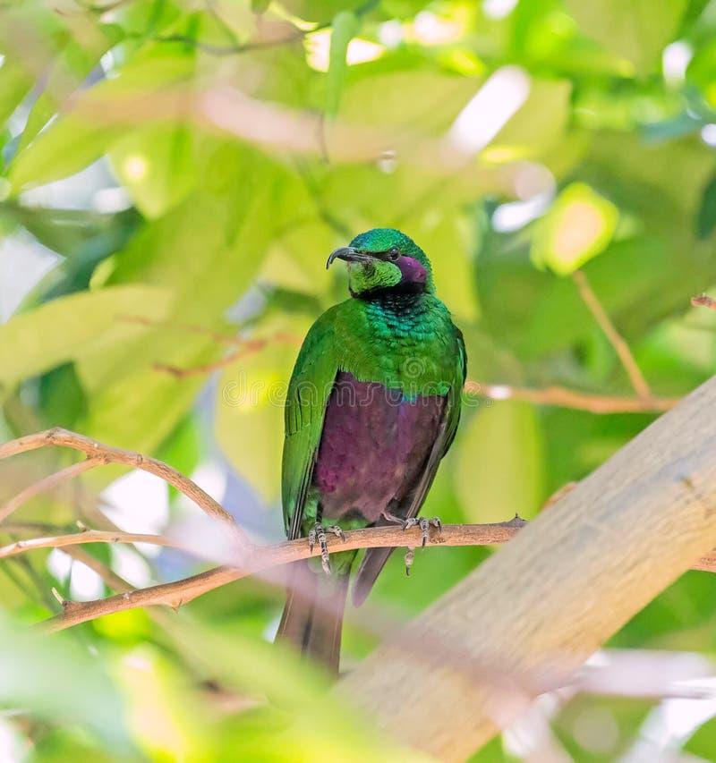 Emerald Green Starling stockbilder