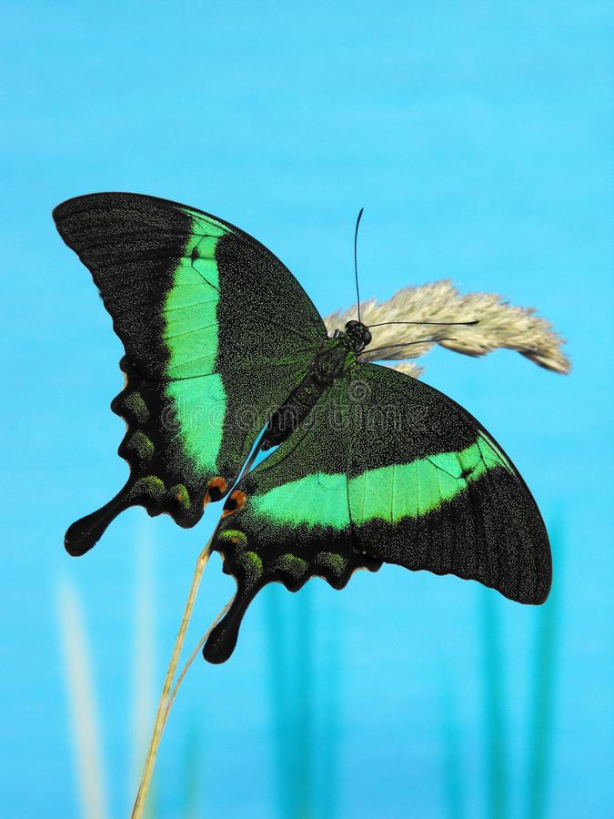 Emerald Green Swallowtail at rest on grass stem. Emerald Green Swallowtail Papilio palinurus open wings at rest on grass stem stock photo