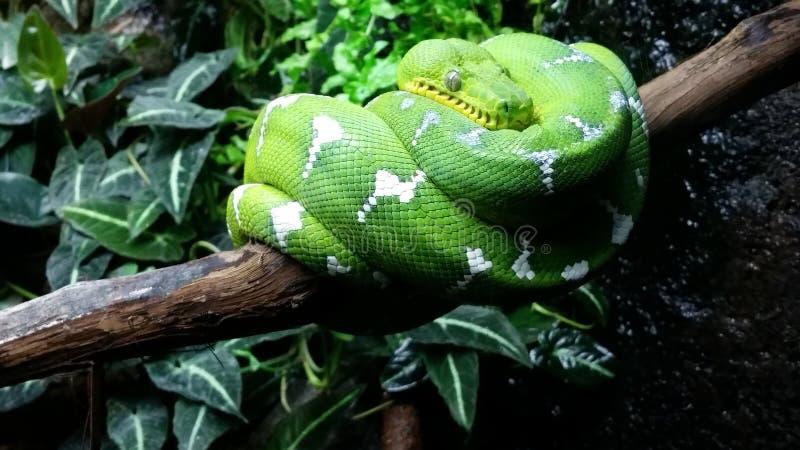 Emerald Green Tree Boa stockfotografie