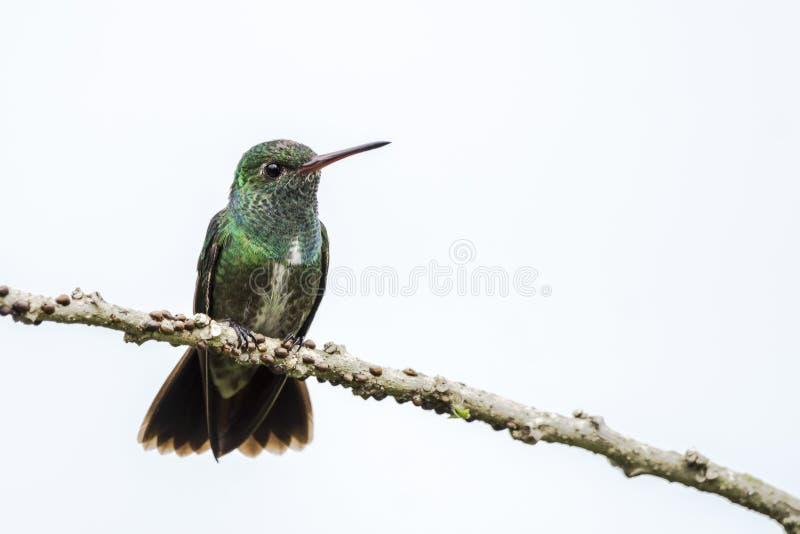 Emerald hummingbird Amazilia fimbriata, com gargalhadas, sentado em um galho na floresta amazônica de Suriname, América do Sul foto de stock