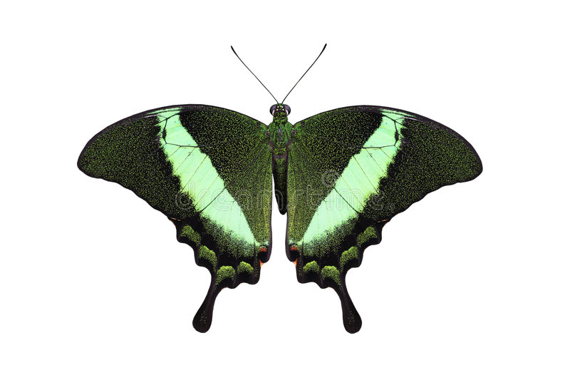 Emerald peacock swallowtail stock image