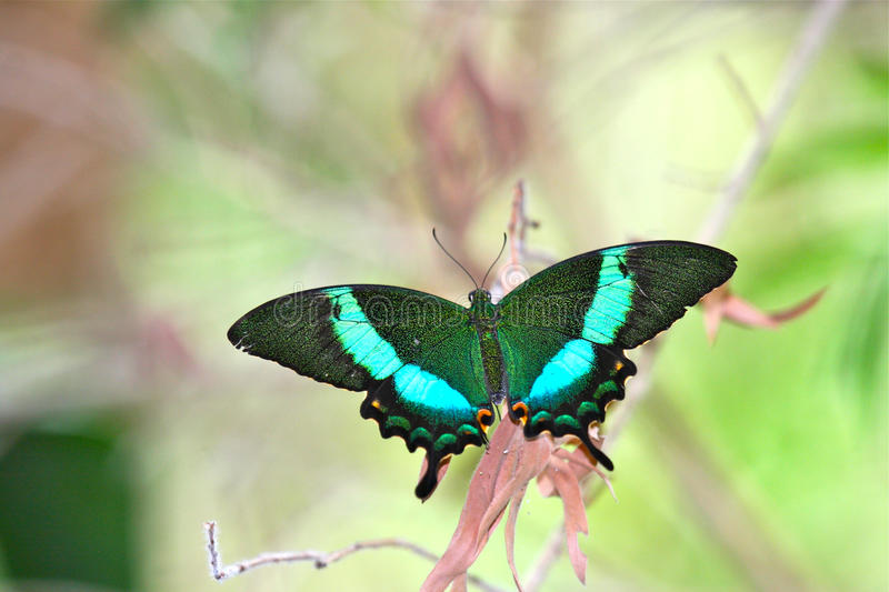Emerald Peacock Swallowtail Butterfly. Bright green Emerald Swallowtail Butterfly (Papilio palinurus) creates a stunning appearance perched on a plant stem stock photography