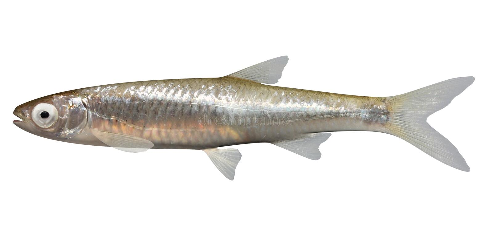 Emerald Shiner vector illustration