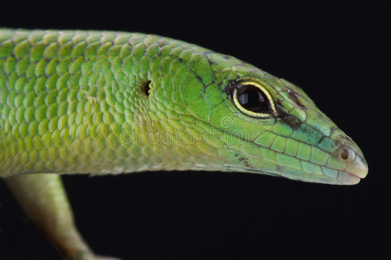Emerald skink (Lamprophis smaragdina). The Emerald skink (Lamprophis smaragdina) is a beautiful lizard species found on Papua New Guinea and Irian Jaya stock photography